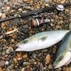初釣り!遠州灘・表浜サーフでイナダGET