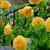 本領発揮した鉢植えのグラハムトーマス