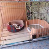 ホーランドロップのうさぎを犬用ケージ(サークル)で飼っています。飼い方も紹介。