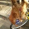 愛犬を初めて自転車のかごに乗せてみました