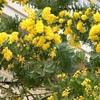春を告げる黄色いミモザと朱色の木瓜♪