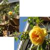秋のバラ ~その2~