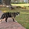 【一日一枚写真】ジョージタウンのサビ猫(起)【一眼レフ】