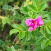 石狩市「はまなすの丘公園」にハマナスの花を見に行く