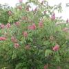 栃の木の花で想い出すトズめし