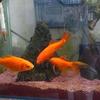金魚の写真を追加しました