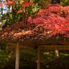 小石川後楽園の紅葉が見頃です