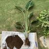 ストレリチア ニコライの根を剪定しました