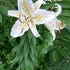 百合の花.  Lilienblüte