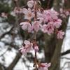 春の味覚「かじめ」