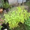 ホーリーバジルの地植えと鉢植え