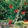 デイゴ②(1990年代)