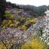 「上中のしだれ桃」は桃源郷の風景