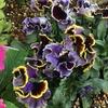 まるで魔城に咲く花!? フリル咲きパンジー「ドラキュラ」成長記録