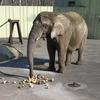 訃報 釧路市動物園のアフリカゾウのナナ♀