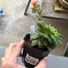 多肉植物 オリビアの花