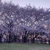 夕暮れ時に見る*満開の桜*