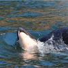 太平洋東部で母シャチが子供の死骸に寄り添う行為を!『追悼』と見られる行為は2週間以上経過していてこれは異例!!