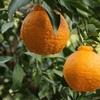 アメリカで日本の果物スモウ・シトラスが大人気!日本名、不知火・デコポンでお馴染みの甘さ