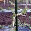 小玉スイカの整蔓と誘引