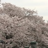🌸🌸真間川 満開の桜のお出迎え 🌸 🌸