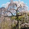 京都で桜の開花宣言!!2020年3月22日現在のおすすめの名所。