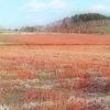 朱鞠内湖と真っ赤な蕎麦畑
