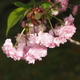 尾山神社菊桜