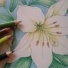 白ユリを色鉛筆で塗ってみた☆花日和より