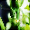 種まきゴーヤの小さな実|ゴーヤの種のピリ辛スナック