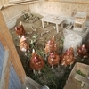 畑に建設した女子寮(鶏小屋)