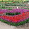 植物:チューリップ