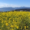 二宮吾妻山へ早咲き菜の花を見に行きました