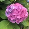 近所の紫陽花がグラデーションしている理由が分からなくて調べてみた