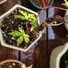 盆栽の若葉に春の日差し