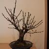黒松盆栽ではなく梅の植木?盆栽?