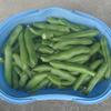 農家のソラマメ栽培とソラマメ尽くし料理