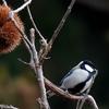 日本 栗畑の野鳥たち