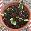 サンスベリアの葉挿しに挑戦