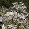 奥多摩の桜を撮る!(その2)