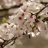春の野を悠然と飛翔するノスリと川辺のアオジ