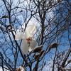 谷津公園のコブシ