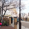 板橋の桜を満喫しました、その1。