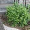 イネ科とマメ科の緑肥の共生🌱窒素のバランスを考える。