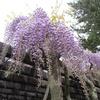 藤の花咲きはじめ