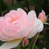 バラの調香体験教室5月25日(土) Parfum satori fragrance school