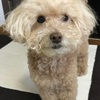 【シニア犬・老犬】トイぷーがかゆがっていた皮膚炎を改善した方法!