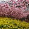 河津桜と菜の花の共演「まつだ桜まつり」の様子