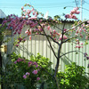 庭の枝垂れ桃、今年も実がたくさん成りそう