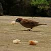雀 スズメ tree sparrow